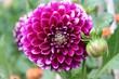Violett blühende Dahlie (Dahlia) in einer Nahaufnahme