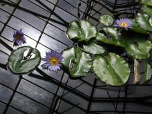 Nymphaea Ninfea Seerosen نيلوفر Water Lilies Gewächshaus Serra Greenhouse Теплица Glasshouse 温室 Kas دفيئة زراعية Gebouw Estufa
