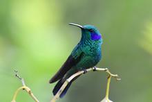 Green Violet-Ear Hummingbird (...