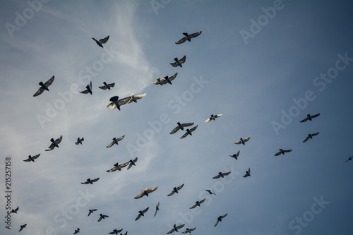 Flock of birds flying - Many pigeons over the blue sky