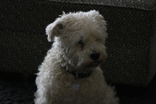 Male Schnoodle Sitting And Looking Beautiful Isolated With A Dark Background
