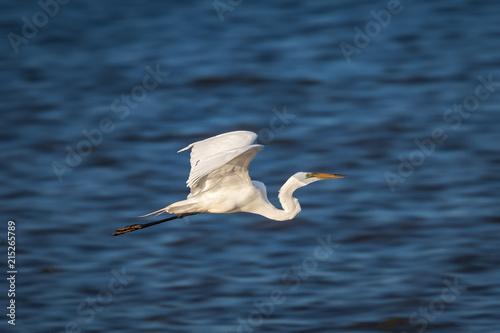 Αφίσα  Great Egret (Ardea alba) in Flight