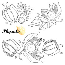 Vector Set Of Bunch With Outline Physalis Or Cape Gooseberry Or Ground Cherry Fruit, Leaf And Berry Isolated On White Background. Ornate Contour Plant For Autumn Design Or Coloring Book.