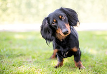 A Black And Tan Dachshund Dog ...