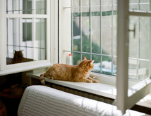 Cat Relaxing On Windowsill And Looks Out Of Open Window At The Outdoors