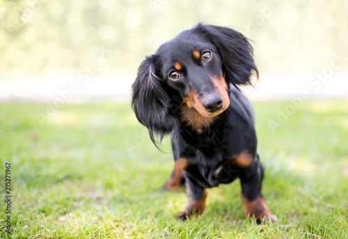 A black and tan Dachshund dog listening with a head tilt Wallpaper Mural