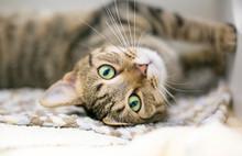 A Domestic Shorthair Tabby Cat...