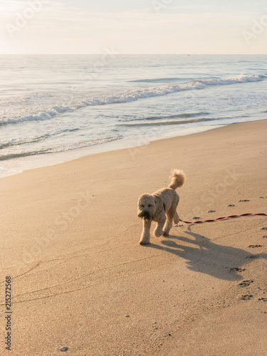 Dog on a longe line on the beach in Florida