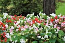 Begonia Flower (Begonia Semperflorens) Blooming In The Garden, Soft Focus And Green Background Garden, Summer In GA USA.