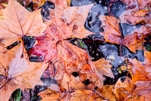 Close Up Of Fallen Leaves On W...