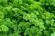 Curly Parsley. Plantation Of G...