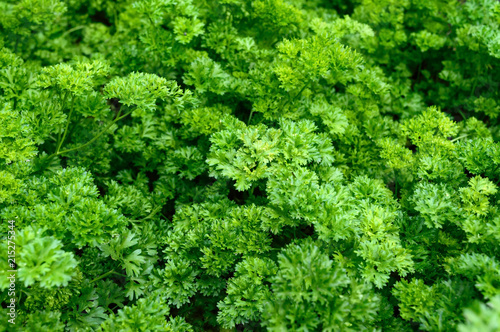 Fotomural  Curly parsley