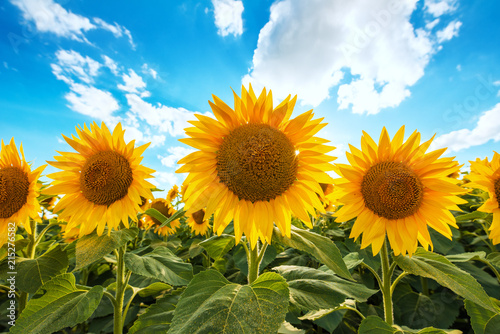 blooming-sunflower-crop-field