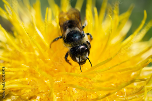 Plakat Leafcutter Pszczoła na żółtym Osecie