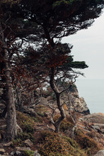 Cypress Trees By An Ocean Cliff