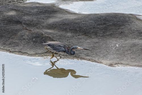 Une aigrette tricolore en reflet sur un rocher du littoral de Guyane française Canvas Print