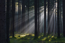 Spruce Forest In Early Morning Mist At Sunrise, Odenwald, Hesse, Germany