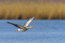 Greylag Goose Flying Above Wat...