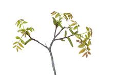 Walnut Blossom And Fresh Leaves In Spring On White Background