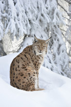 Close-up Portrait Of A European Lynx (lynx Lynx) Sitting In Snow In Winter, Bavarian Forest, Bavaria, Germany
