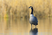 Portrait Of Canada Goose (Branta Canadensis) In Lake, Hesse, Germany