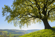 Old Oak Tree With Scenic View In Early Spring, Odenwald, Hesse, Germany