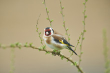 Close-up Of European Goldfinch (Carduelis Carduelis) In Early Spring, Styria, Austria