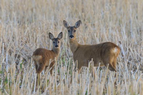 Western Roe Deer (Capreolus capreolus), Doe with Fawn, Hesse, Germany, Europe