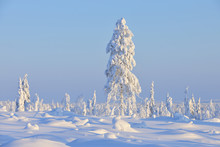 Snow Covered Tree In Winter, N...