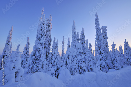 Snow Covered Spruce Trees at Dawn in Winter, Niskala, Kuusamo, Nordoesterbotten, Finland