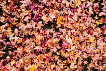 Red And Yellow Fallen Leaves O...