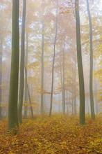 European Beech (Fagus Sylvatica) Forest On Misty Morning In Autumn, Nature Park, Spessart, Bavaria, Germany