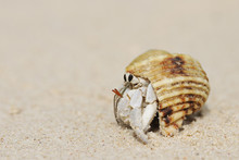 Hermit Crab (Anomura) On Sand ...
