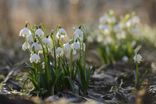 Close-up Of Spring Snowflake (Leucojum Vernum) Blossoms In Forest In Spring, Upper Palatinate, Bavaria, Germany