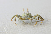 Horn-eyed Ghost Crab (Ocypode Ceratophthalma) On Beach, Mahe, Seychelles