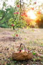 Just Picked Apples In Basket U...