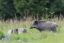 Wild Boar (Sus Scrofa), Tusker...