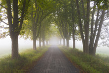 Chestnut Tree-lined Avenue On Misty Morning, Moenchbruch Nature Reserve, Moerfelden-Walldorf, Hesse, Germany