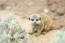 Close-up Of A Meerkat Or Suric...