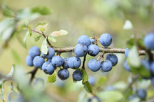 Close-up Of Blackthorn (Prunus Spinosa) Fruits In A Forest In Summer, Upper Palatinate, Bavaria, Germany