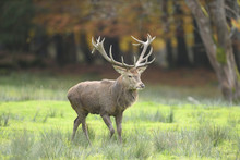 Close-up Of Male Red Deer (Cer...