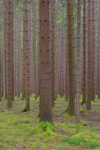 Tree Trunks In Spruce Forest, ...
