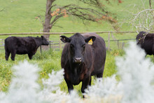 Black Angus Cows In A Paddock