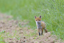 Young Red Fox (Vulpes Vulpes), Hesse, Germany