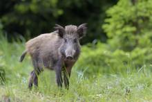 Male Wild Boar (Sus Scrofa), S...