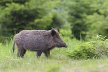Female Wild Boar (Sus Scrofa), Spessart, Bavaria, Germany