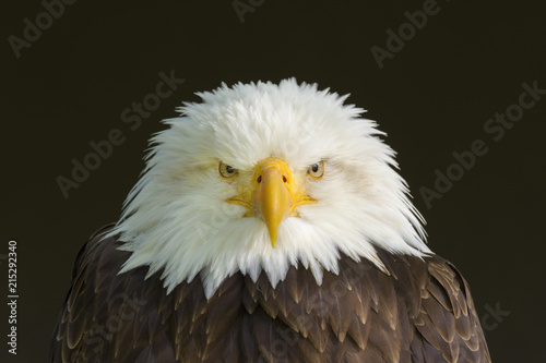 Portrait of Bald Eagle (Haliaeetus Leucocephalus), Bavaria, Germany