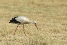 White Stork (Ciconia Ciconia),...