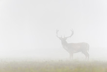 Male Fallow Deer (Cervus Dama)...