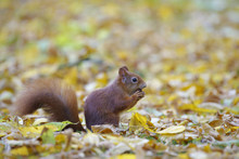 Eurasian Red Squirrel (Sciurus Vulgaris) In Autumn, Hesse, Germany